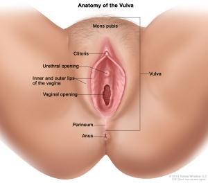 Anatomy of the Vulva